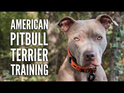 American Pitbull Terrier Im Training Mit Hundetrainer Lui Von Vitomalia Youtube Pitbull Terrier American Pitbull Pitbull Welpen