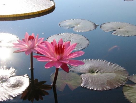 #images of #lotus #flower