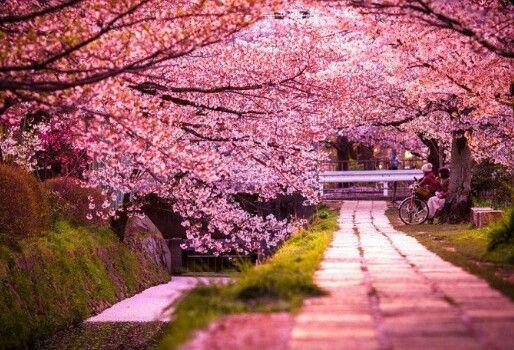 Sakura Jepang Sangat Indah Wallpaper Pemandangan Anime Bunga Sakura Pemandangan