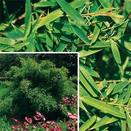 Petit bambou : Fargesia rufa (lot de 2) Ombre. 2/3 m