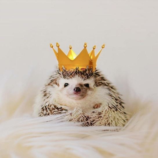 25 Funny and Adorable Hedgehog Pictures That Will Make You Want One   #hedgehogs #hedgies #funnyanimals #funnypics #cuteanimals
