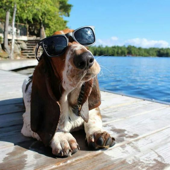 Basset hound working on his tan...