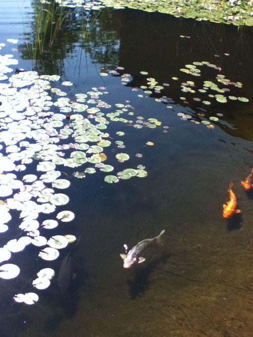 Koi #fish #pond #pretty