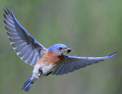 Eastern bluebird in flight - photo#12