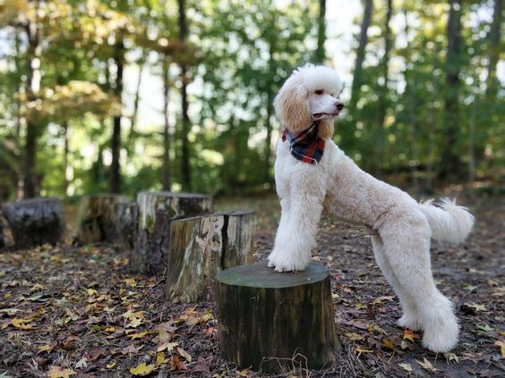 Noodle The Standard Poodle Dogpictures Dogs Aww Cuteanimals