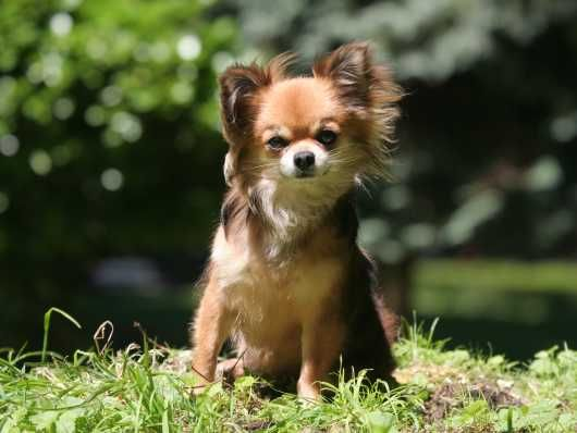 Tiny Chihuahua Pup Stockport Greater Manchester Pets4homes
