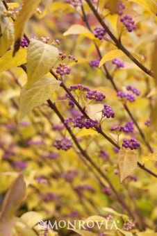 Early Amethyst Beautyberry {Callicarpa dichotom 'Early Amethyst'}