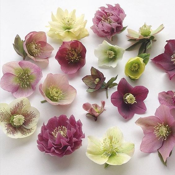 One of my favorite flowering plants of all time. Hellebores always make me happy. Thanks @katylivings for sharing these in #dscolor