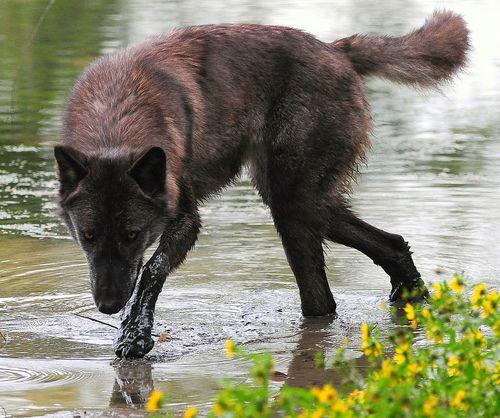 Black Wolf (summer Coat)