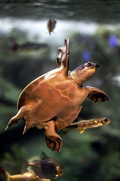 2.12.15 | Softshell turtle at the Busan Aquarium, Korea