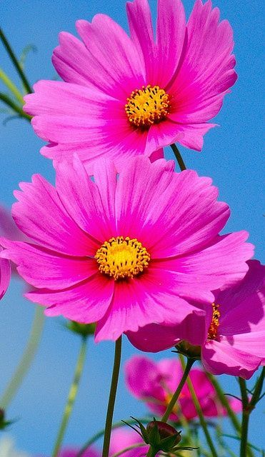 nature | flowers | cosmos