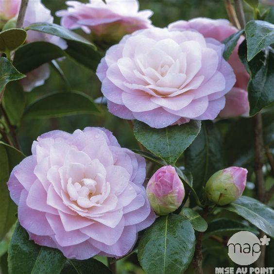 Camellia Nuccio S Pearl Country Garden Flowers Camellia Flower Beautiful Flowers