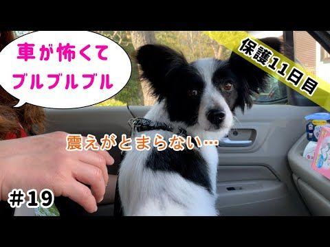 保護犬 車が怖すぎてブルブル震える 気を失うほど怖がり途中で降りる Youtube 犬 車 犬 保護