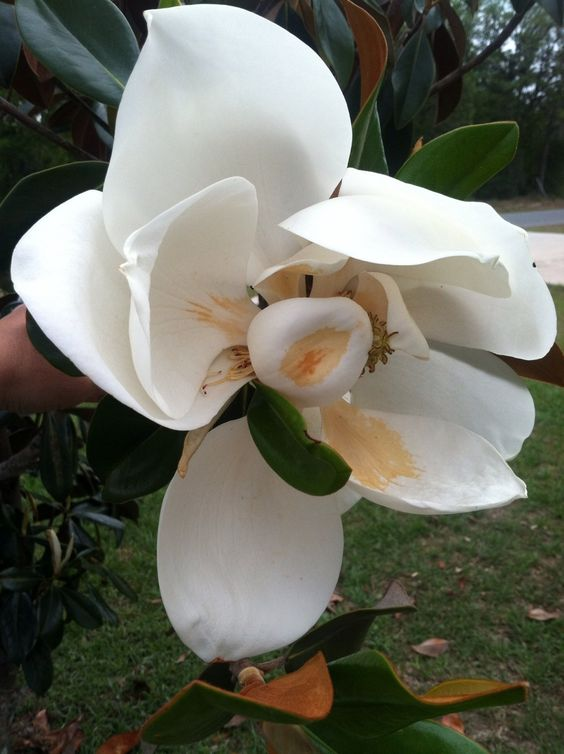 Our first bloom from our magnolia tree.
