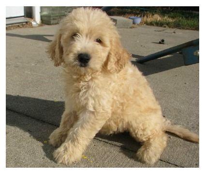 Mini Golden doodle :) my dream dog!