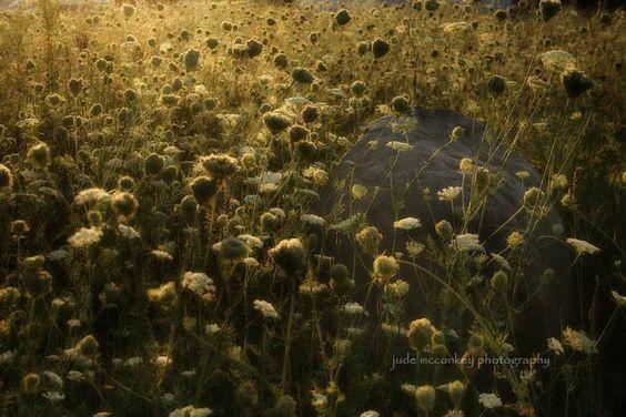 """""""Fields of Golden Lace"""" by jude McConkey"""