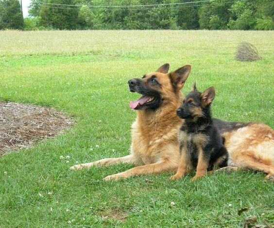 German Sheperd and his son #dog #lex