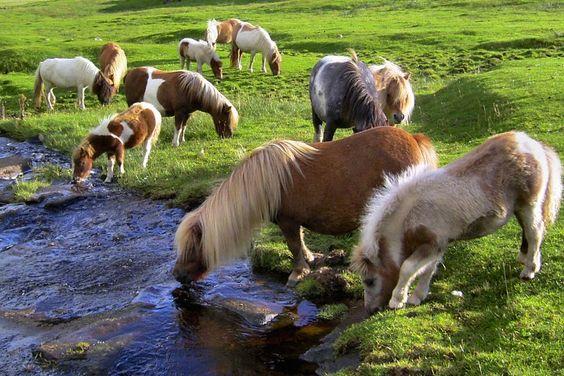 Shetland ponies.