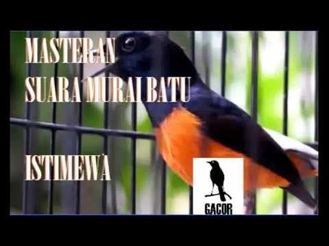 Masteran 1 Jam Untuk Murai Batu Isian Lengkap Youtube Burung Murai Suara