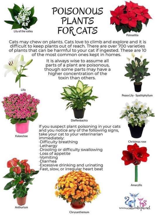 Poisonous Plants For Cats Cat Plants Plants Poisonous Plants