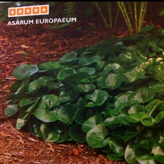Asarum Europaeum -- wild ginger, good for shade areas.