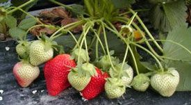 life cycle of strawberry plants