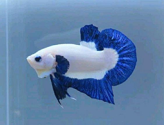 Ikan Cupang Unik Warnawarni Aquarium Pokeronline Agenpoker Gbkpoker Betta Fish Tank Fresh Water Fish Tank Betta Fish