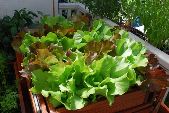 SaladScape of 'Skyphos' and 'Santoro' Lettuce.