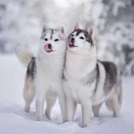 All About Agile Siberian Huskies Pup Personality