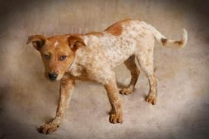 Cattle Dog Dog