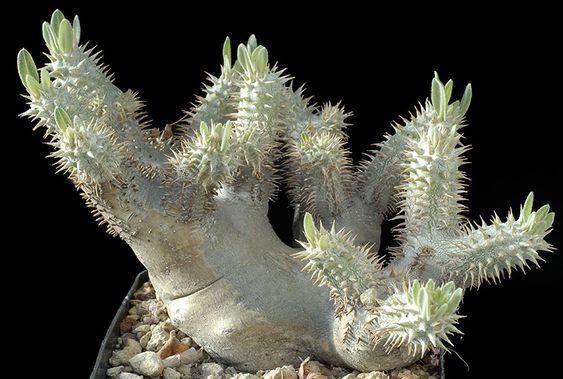 Immagine ridimensionata [Pachypodium densiflorum v. densiflorum Cm. 29€ 150,00.jpg - 152kB]