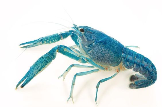 photo by @joelsartore | A #blue crayfish at the Aquarium de la Porte Doree in #Paris. #Follow me to see more #PhotoArk animals! #joelsartore #photooftheday #france by natgeo