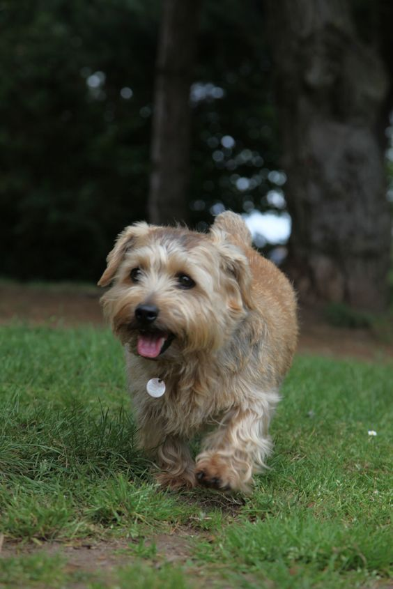 Small Dogs Who Are Easy To Groom Dogtime Norfolk Terrier List Of Small Dogs Small Dogs
