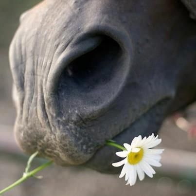 she loves me, she loves me not...My two favorite things....horse and a daisy