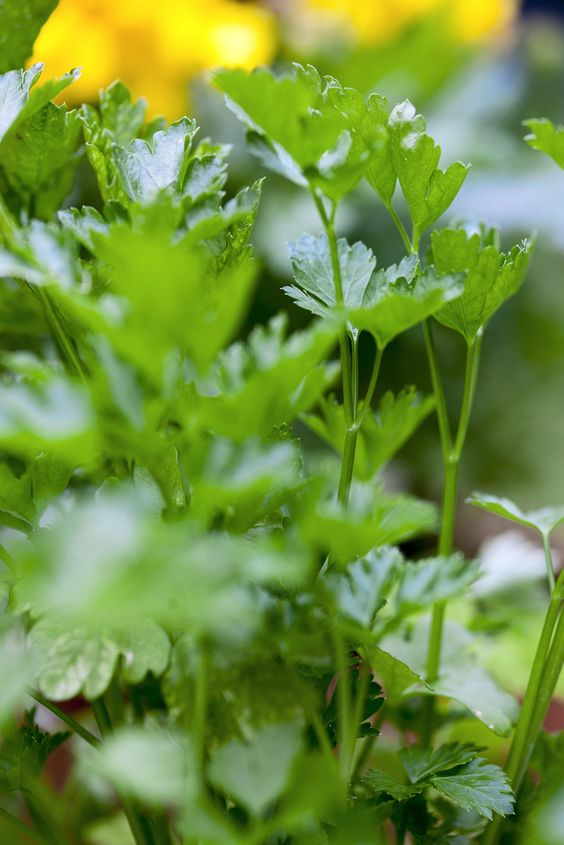 Herbs: Coriander (Coriandrum sativum). Grown worldwide and revered for its fresh, citrus flavour, coriander is best added to dishes just before serving to preserve the taste. Visit the Gardeners' World website for growing tips http://www.gardenersworld.com/plants/features/herbs/growing-herbs/3469.html: