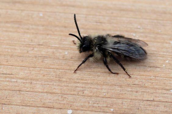 ASHY MINING-BEE (Andrena cineraria) - 100-6D00390