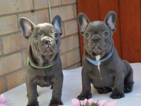 French Bulldog Dogs For Sale In The Uk Pets4homes French