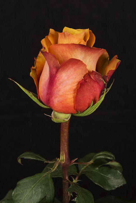 CAPITANO - Eden Roses Ecuador #Flowers #Roses #Ecuador #PrimeroEcuador #Ecuador #Rose #MitadDelMundo #ThePleasureOfBeauty