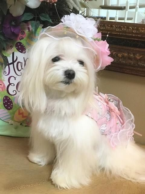 Beautiful girl in her Easter outfit. #maltese