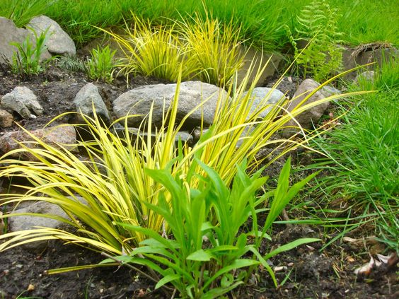 Acorus gramineus japanese sweetflag an evergreen grass for Yellow ornamental grass