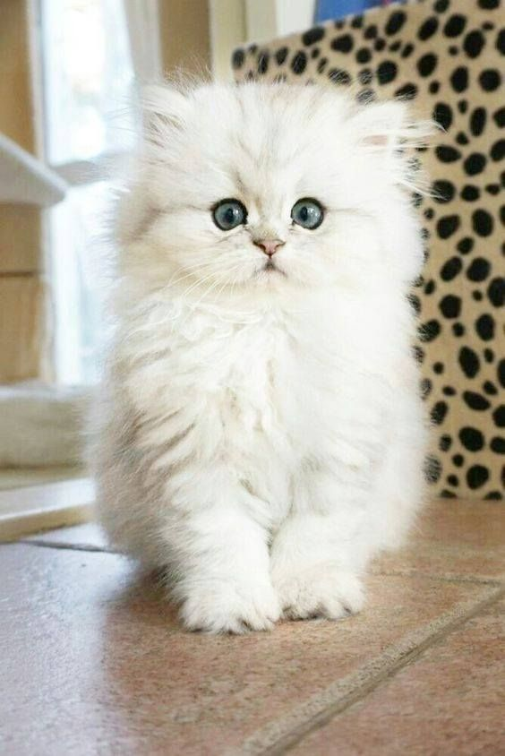 Pin By Patti Scherer On Kittens Cats 2 Kittens Cutest Cute Cats Beautiful Cats
