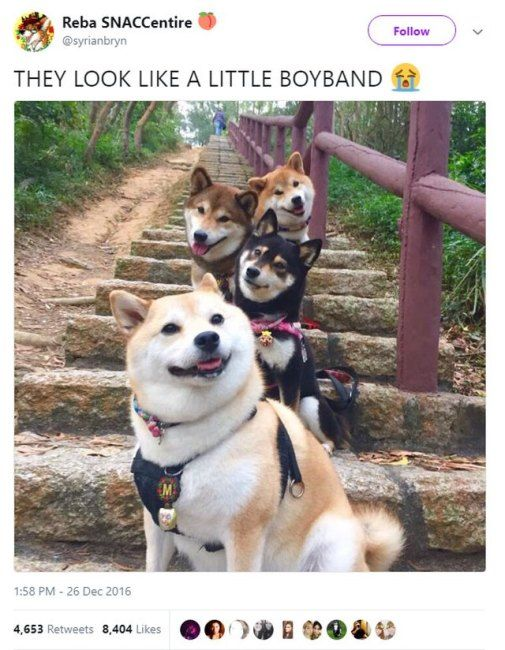 19 Ridiculous Shiba Inu Memes Cute Animals Funny Animals Funny Animal Pictures