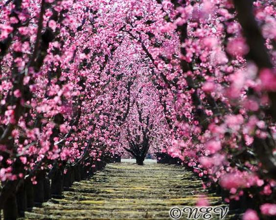 Pink Flower Photography Orchard Tree Photo Spring Peach