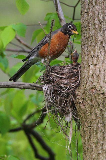 ✿campestre - American Robin Nest: