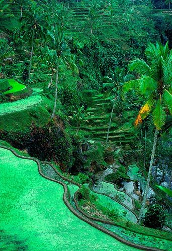 The Ubud area has fabulous rice terraces. Ubud, Bali, Indonesia.