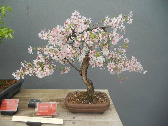 Pin By Magaly Holguin On Bonsai Cherry Blossom Bonsai Tree Bonsai Flower Bonsai Plants