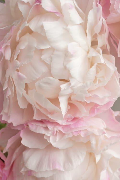 Delicate Clouds Of Dreamy Blush White Petals Gardenia Peonies In 2020 Peonies Petals Flower Market