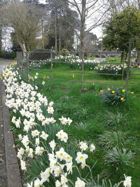 Daffodils at The Courtyard