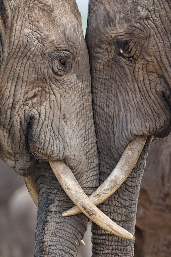 """Eye to Eye.  """"Two adult elephants (Loxodonta africana) interacting at Hapoor Dam in Addo Elephant National Park, South Africa.""""  by Maria Moreno."""