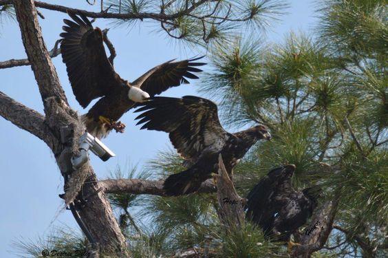 Southwest Florida Eagle Cam's Page